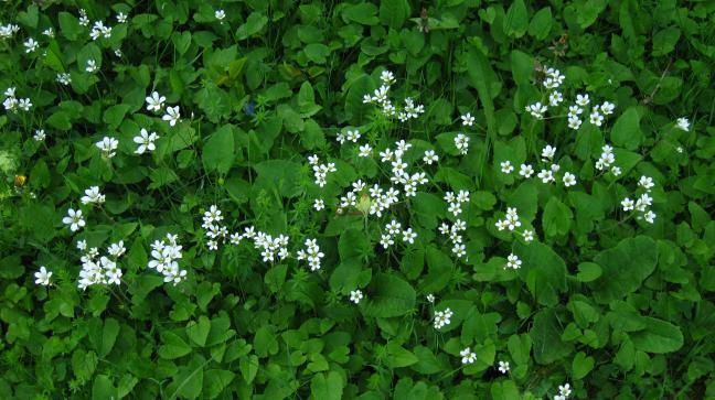 Mandelblomma - Saxifraga Granulata