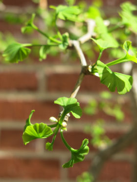 Ginkgo leaves sprouting in May